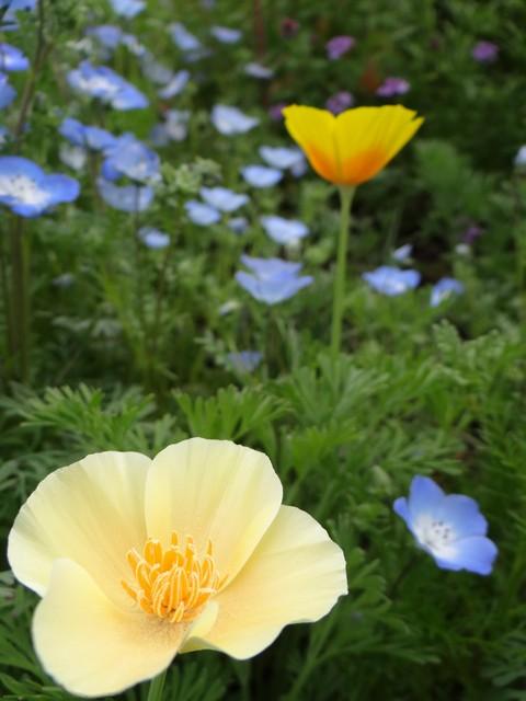 Eschscholzia californica (California poppy), Nemophila menziesii (baby blue eyes), and Verbena lilacina 'De La Mina'