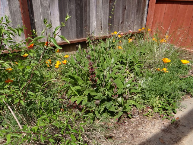 Salvia spathacea (hummingbird sage) and Eschscholzia californica (California poppy)