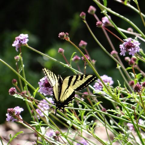 Papilio rutulus (Western tiger swallowtail) on Verbena lilacina 'De La Mina' (lilac vervain)
