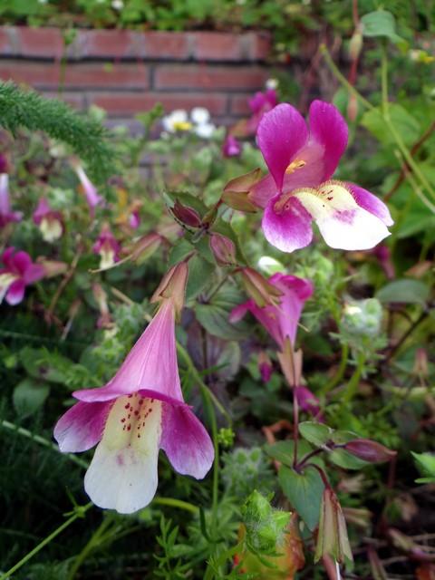 Mimulus naiandinus 'Mega' (spunky monkeyflower)