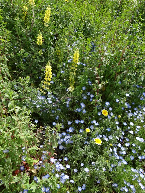 Layia platyglossa (Fremont's tidy tips), Lupinus arboreus (yellow bush lupine), and Nemophila menziesii (baby blue eyes)