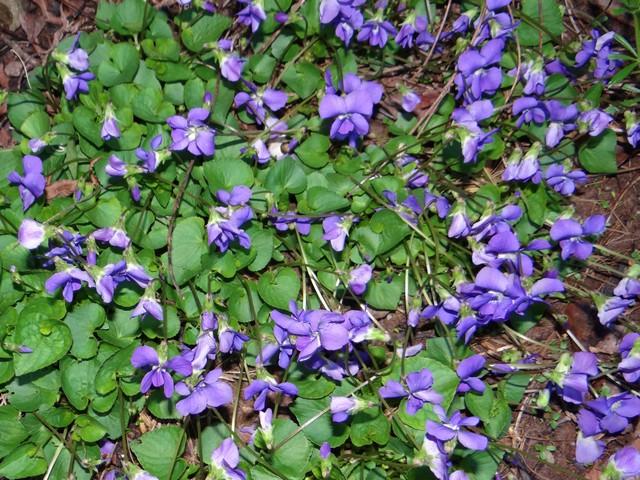 Viola odorata (wood violet)