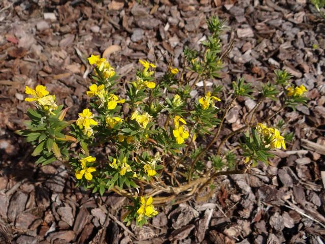 Erysimum capitatum (sand-dune wallflower)