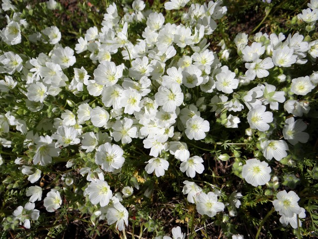 Limnanthes alba (white meadowfoam)
