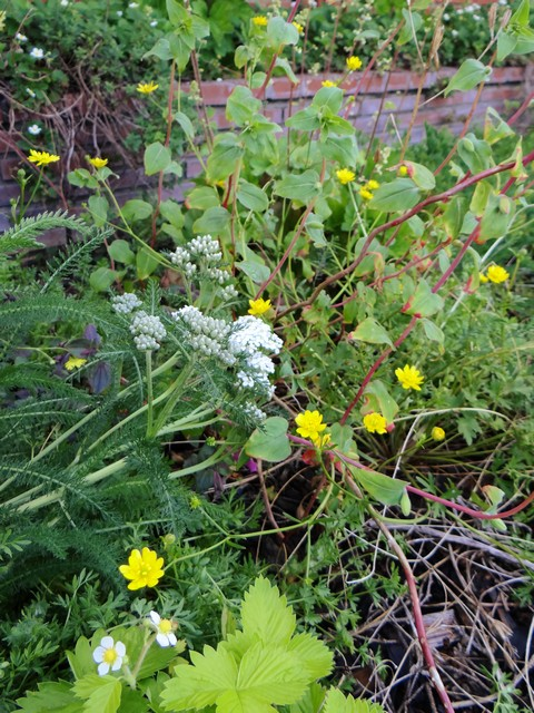 Achillea millefolium (yarrow), Ranunculus californicus (California buttercup), and Fragaria vesca 'Golden Alexandria' (woodland strawberry)