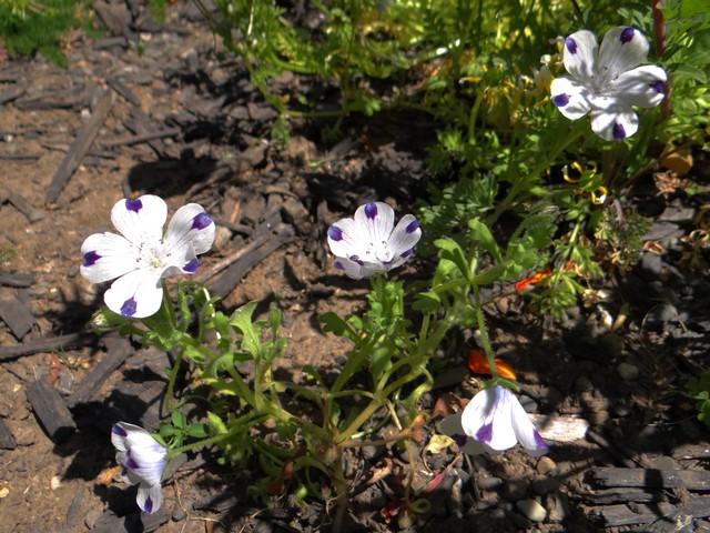 Nemophila maculata (five spot)