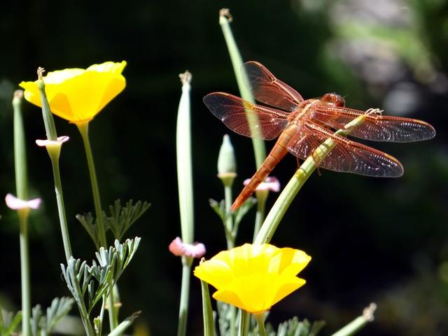 Libellula saturata (flame skimmer) on Eschscholzia californica (California poppy)