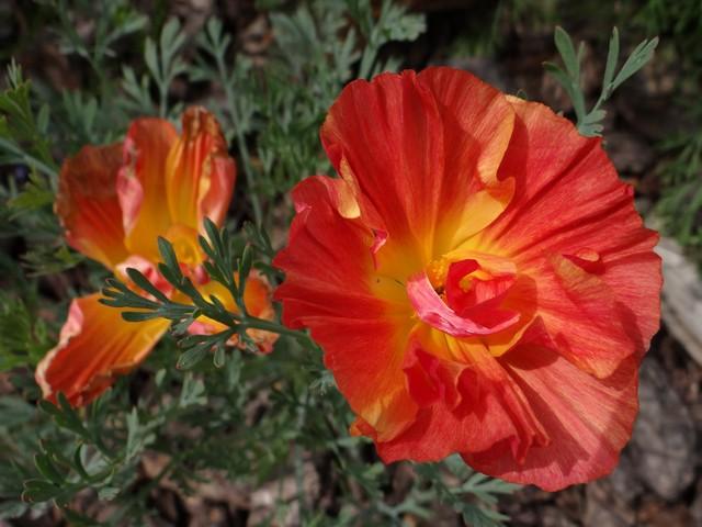 Eschscholzia californica (California poppy)