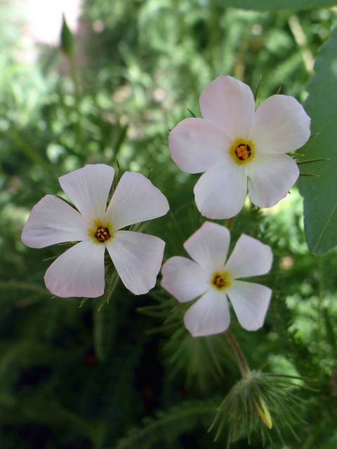 Linanthus grandiflorus (large false babystars)