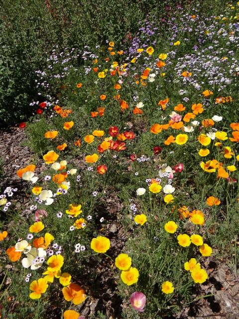 Eschscholzia californica (California poppy), Gilia tricolor (bird's eyes), and Verbena lilacina 'De La Mina' (lilac vervain)