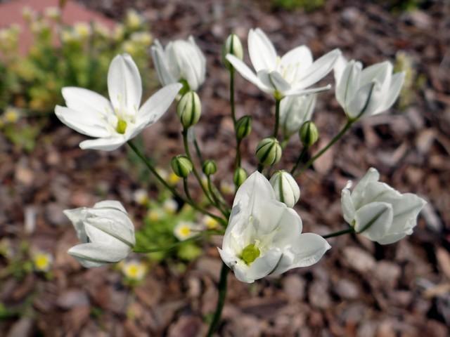 Triteleia hyacinthina (white prettyface)
