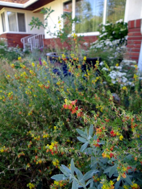 Acmispon glaber (deerweed) and Achillea millefolium (yarrow)