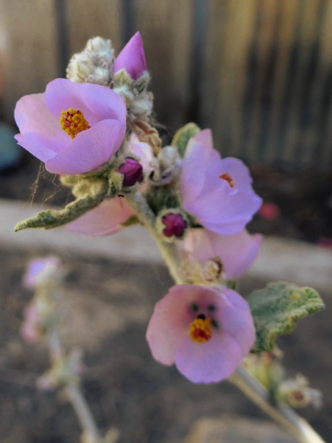 Malacothamnus fremontii (Fremont's bush mallow)