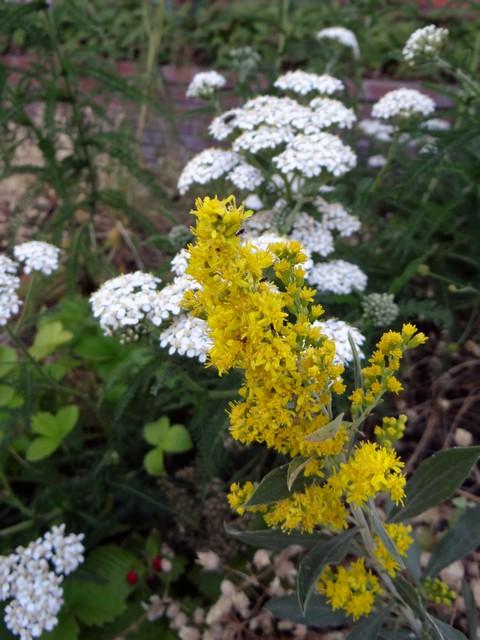 Solidago californica (California goldenrod)