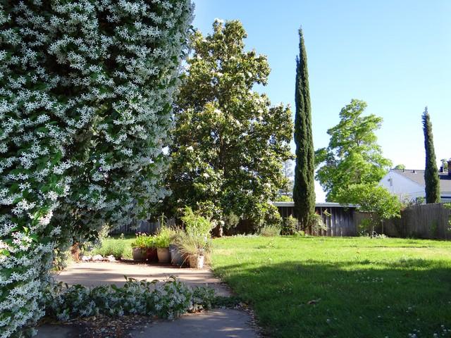 Trachelospermum jasminoides (Confederate jasmine) and Magnolia grandiflora (Southern magnolia)