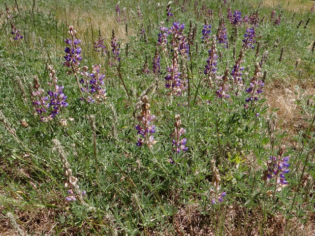 Lupinus polyphyllus (meadow lupine)