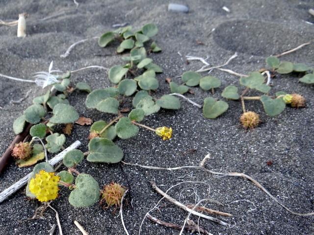 Abronia latifolia (yellow sand vervain)
