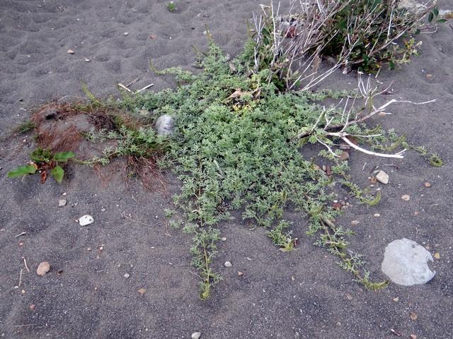 Ambrosia chamissonis (silver beachweed)