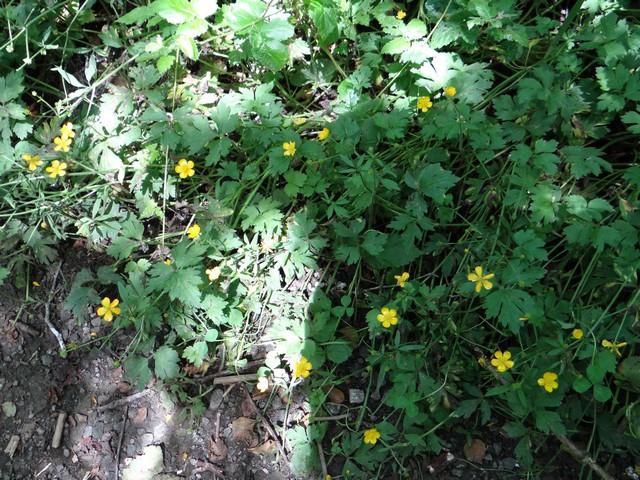 Ranunculus occidentalis (Western buttercup)