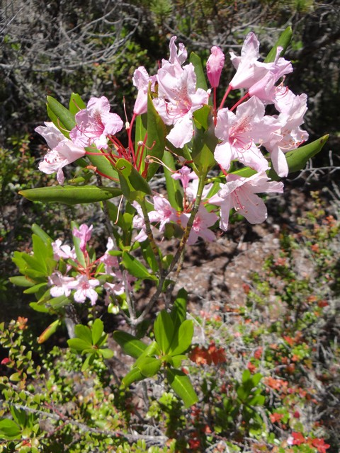 Rhododendron occidentale (Western azalia)