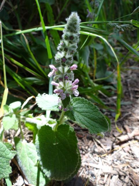 Stachys ajugoides (bugle hedgenettle)