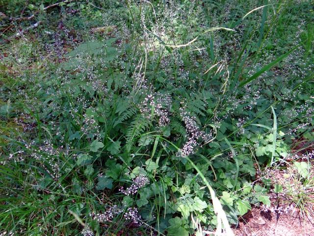 Tiarella trifoliata (sugar scoop)