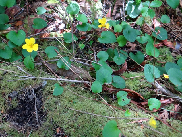 Viola sempervirens (redwood violet)