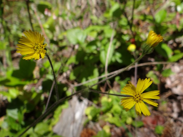 Anisocarpus madioides (woodland tarweed)