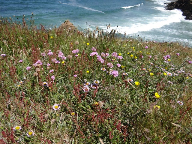 Armeria maritima (sea thrift), Erigeron glaucus (seaside fleabane), and Eschscholzia californica (California poppy)