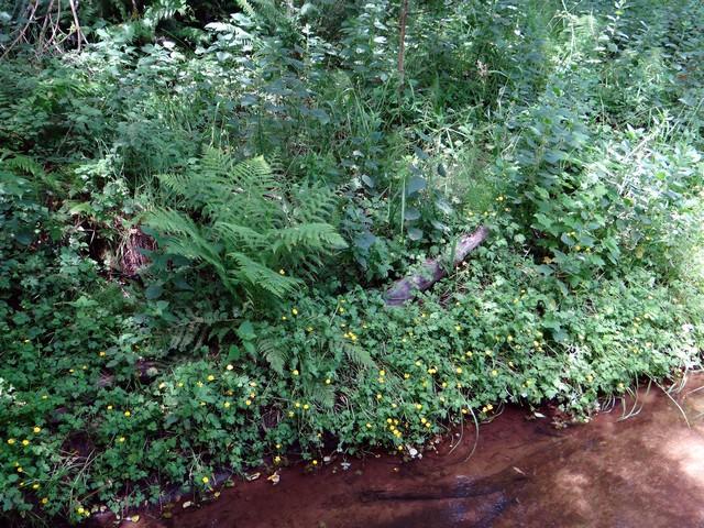 buttercups along Jug Handle Creek