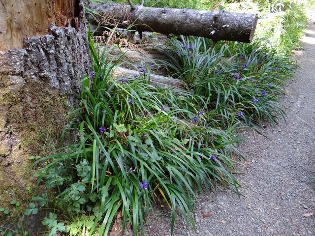 Iris douglasiana (Douglas' iris)