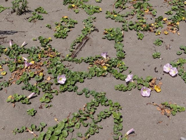 Calystegia soldanella (beach morning-glory)
