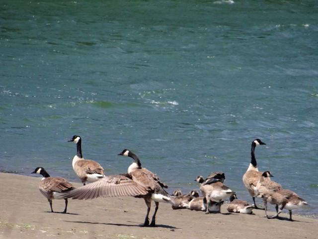 Branta canadensis (Canadian geese)