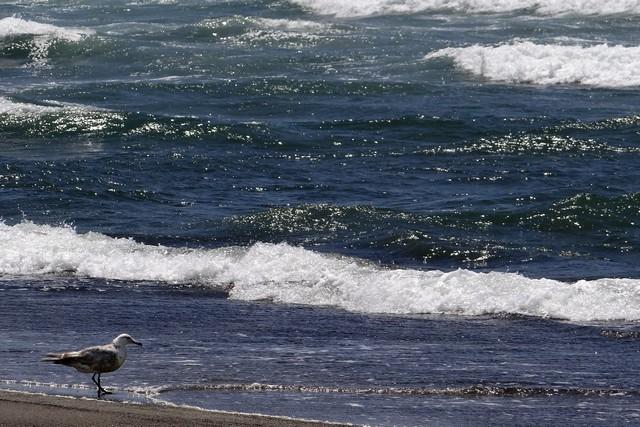 Larus californicus (California gull)