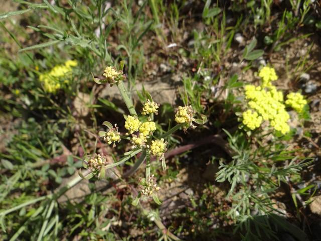 Lomatium sp.
