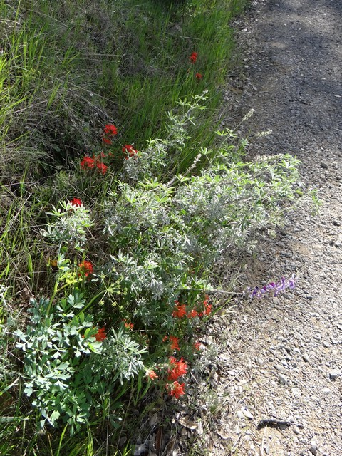 Lupinus albifrons (silver bush lupine) and Castilleja sp.