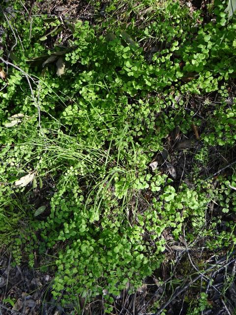 Adiantum jordanii (maidenhair fern)