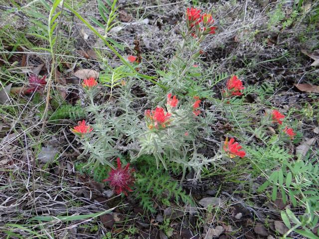 Pedicularis densiflora (Indian warrior) and Castilleja sp.