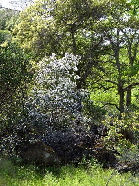 Ceanothus oliganthus (hairy mountain lilac)