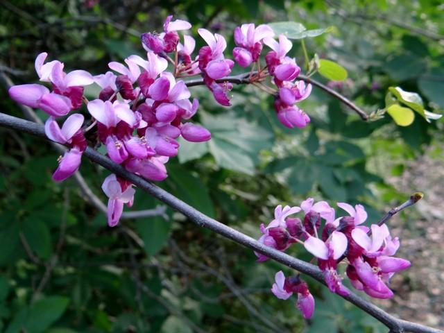 Cercis occidentalis (Western redbud)