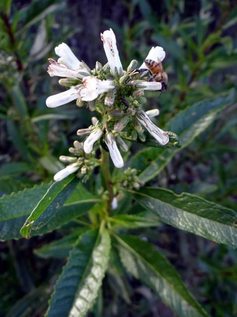 Eriodictyon californicum (yerba santa)