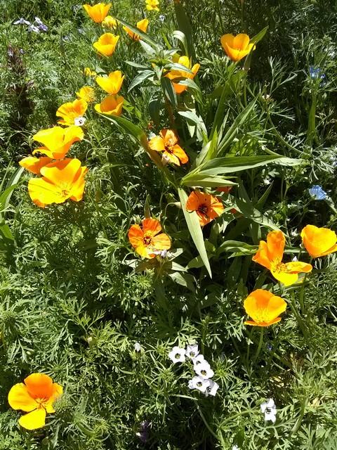 Papaver heterophyllum (wind poppy), Eschscholzia californica (California poppy), and Gilia tricolor (birds' eyes)
