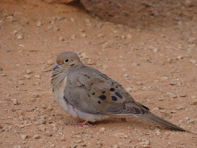 Zenaida macroura (mourning dove) - Riparian Preserve at Water Ranch in Gilbert