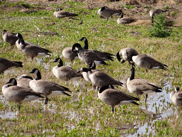 Branta canadensis (Canadian geese) - Riparian Preserve at Water Ranch in Gilbert