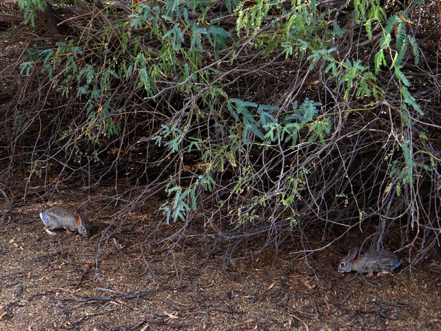 Sylvilagus audubonii (desert cottontail) - Riparian Preserve at Water Ranch in Gilbert