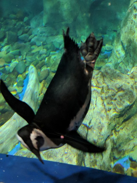 penguin at the OdySea Aquarium in the Desert