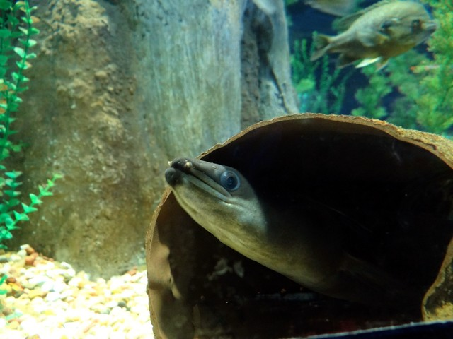 eel at the OdySea Aquarium in the Desert