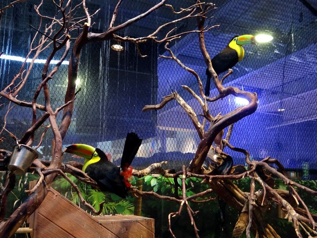 toucans at the OdySea Aquarium in the Desert