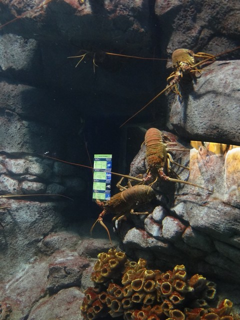 lobsters at the OdySea Aquarium in the Desert