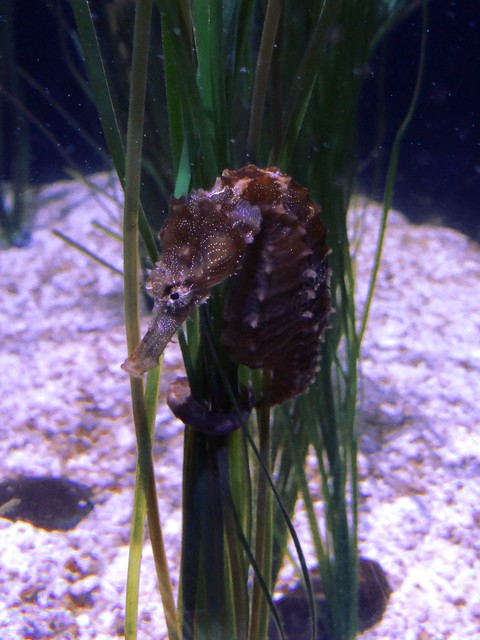 seahorse at the OdySea Aquarium in the Desert